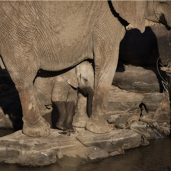 Elephants by David Cayless